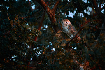 Beautiful Barn owl, Tyto alba, sitting on tree branch. Owl from Costa Rica. Beautiful evening light.