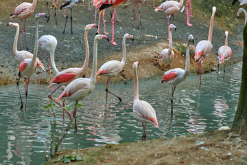 The greater flamingo (Phoenicopterus roseus)