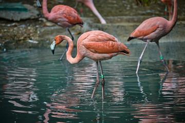 The greater flamingo (Phoenicopterus roseus)