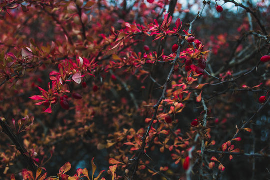 Red barberry berries on the branches