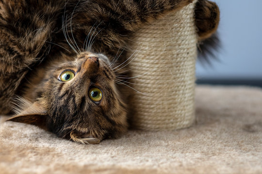 cat playing with scratching post.