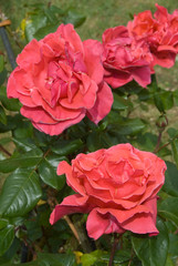 Rosa Buisson Soraya - Rosier