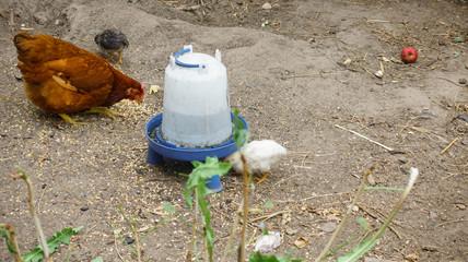 Hen feeding at farm