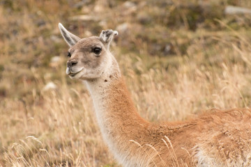 Wild vicuña watches the passing tourists