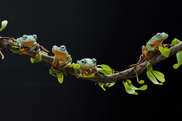 Flying Frog on Leaves, Frog on Leaves,