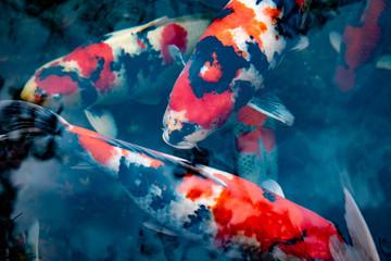 池を泳ぐ錦鯉