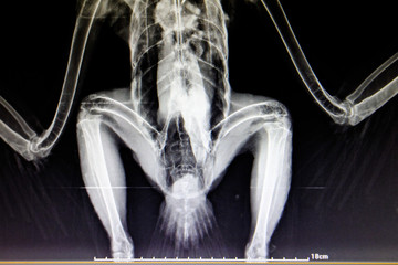 lateral x-ray film of bird