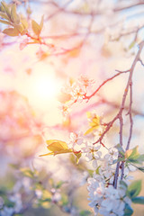 Spring branch with white small flowers at sunset. Background. Copy space