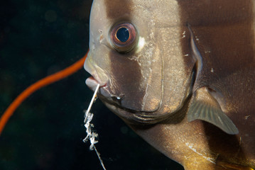 Marine Protection / Ocean Environmental Destruction / Bat Fish with Fishhook through its Mouth from Tourist Night Fishing