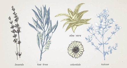 Hand-drawn illustration of medical herbs and plants. Vector