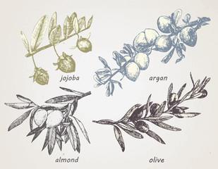 Hand-drawn set of plants: olive, argan, almond and jojoba. Oils. Vector