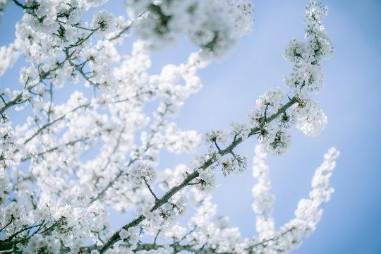 Fleur de cerisier blanc à Nantes, France