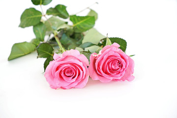 Two beautiful pink rose flowers isolated on white background with copy space