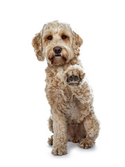 Young adult Golden Labradoodle dog, stitting  facing front, one paw high in air giving high five. Looking at lens with sweet brown eyes and closed mouth. Isolated on white background.