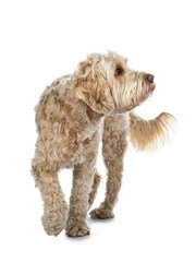 Young adult Golden Labradoodle dog, walking towards camera, one paw in air, looking side ways / profile with sweet brown eyes. Isolated on white background.