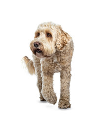 Young adult Golden Labradoodle dog, walking towards camera, one paw in air, looking beside camera / profile with sweet brown eyes. Isolated on white background.