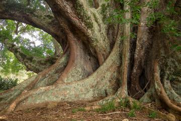 Giant Fig Trees - Norfolk Island