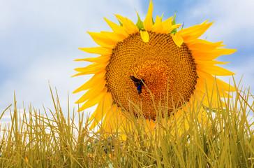 Brins d'herbe et fleur de tournesol