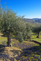 Photo sur Toile Oliviers Olive trees in grove with some olives grown and on the ground during harvest season, Extremadura, Spain