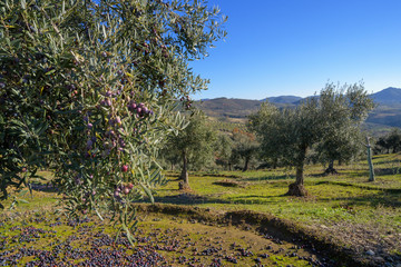 Photo sur Aluminium Oliviers Olive branch with some olives grown during harvest season, Extremadura, Spain