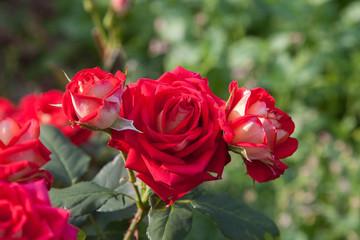 Beautiful red rose bush growing in the garden.