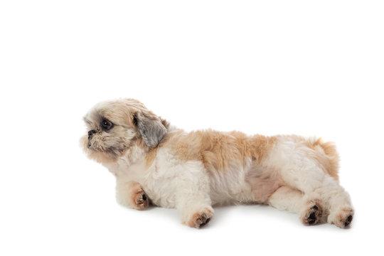 cute lazy shih tzu dog lying on the floor
