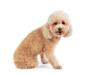 cute curly-haired poodle looking at camera Wall mural