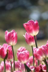 チューリップのある風景(ピンクと白)