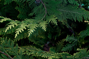 Organic ornament. Thuja, cedar branch and leaves, nature background