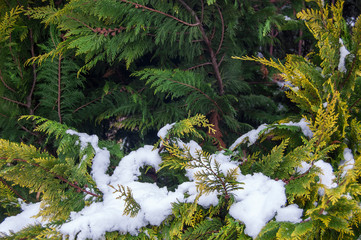 Organic ornament. Thuja, cedar branch and leaves, nature background in snow, winter