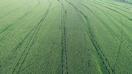 aerial photo of corn plantation
