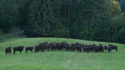 Canvas Prints Bison Wisents (Bison bonasus) in the meadow. Bieszczady Mountains. Poland.