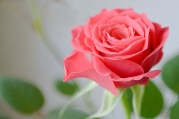 pink rose on green background