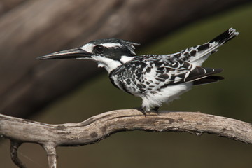 Pied Kingfisher in Chobe National park in Botswana in Africa