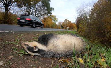 Toter überfahrener Dachs im Strassengraben einer Landstrasse