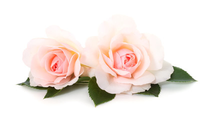 Pink roses flowers.