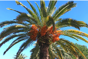 Canarian date palm against the sky