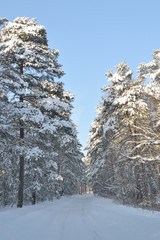 Winter forest in the middle part of Russia