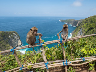 Monkey in Manta Bay or Kelingking Beach on Nusa Penida Island, Bali, Indonesia. November, 2018