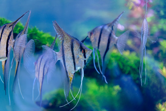 Gruppo di pesci scalari in Acquario 01