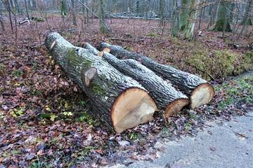 Waldlandschaft/Pflanzen/Stammholz