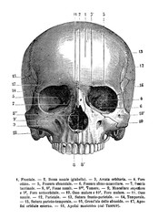 Vintage illustration of anatomy, human skull frontal view,  anatomical descriptions in Italian