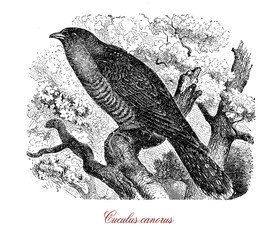 Vintage engraving of common cuckoo, endangered and migrant bird so named from the male call or song