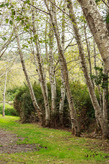 large white birch trees growing in a row