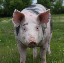 Head of a domestic pig on pasture