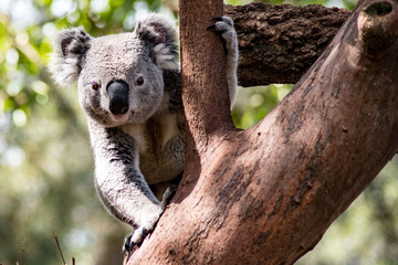 Curious Koala in Tree