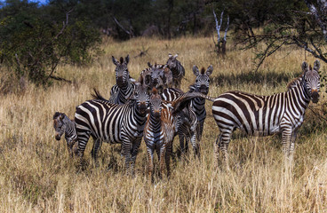 family of zebra, one biting others tail in serengeti national park tanzania africa