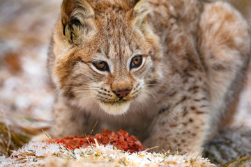 Young eurasian lynx eating meat in the forest at early winter