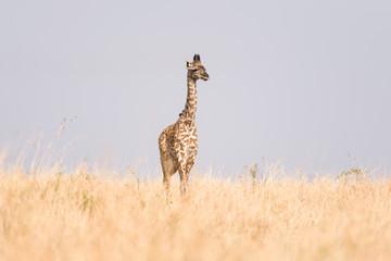 Masai Giraffe (Giraffa camelopardalis tippelskirchi), Maasai Mara, Kenya