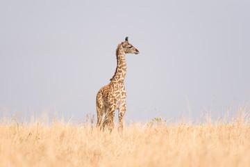 Masai giraffe (Giraffa camelopardalis tippelskirchi) in open savanna, Masai Mara National Game Park Reserve, Kenya, East Africa